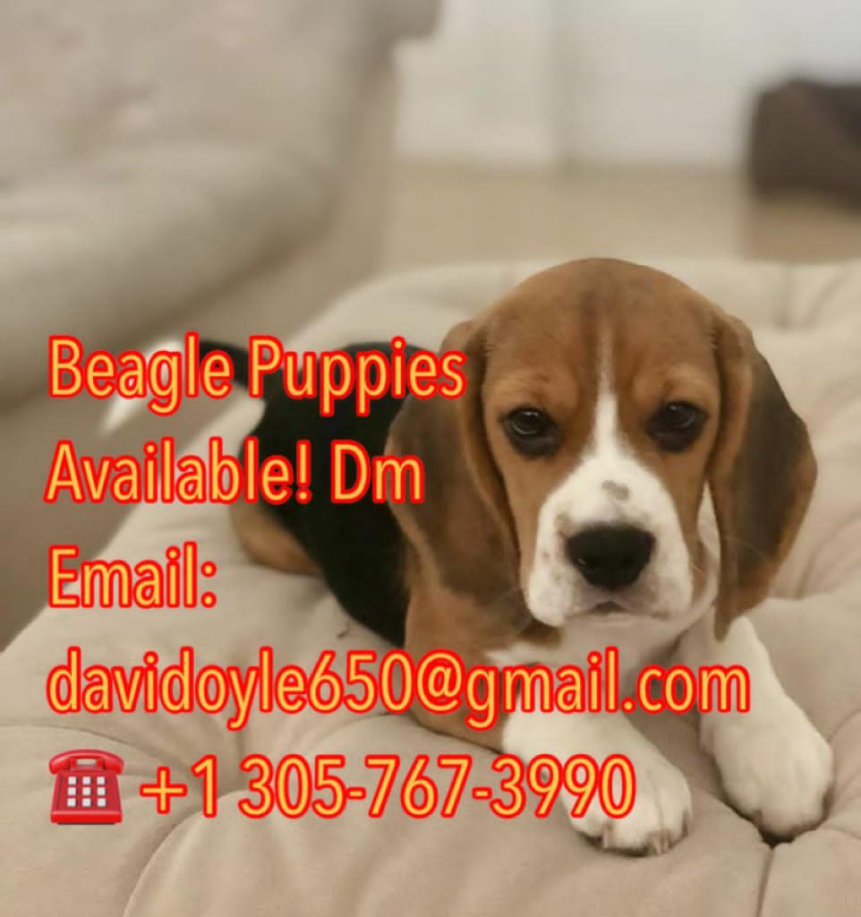 beagle pupies for sale